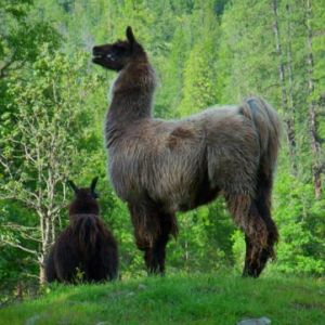 Several-llamas-for-your-enjoyment
